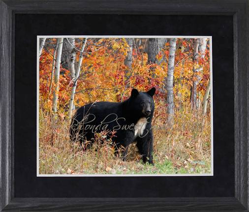 Black Bear Images Autumn Bear